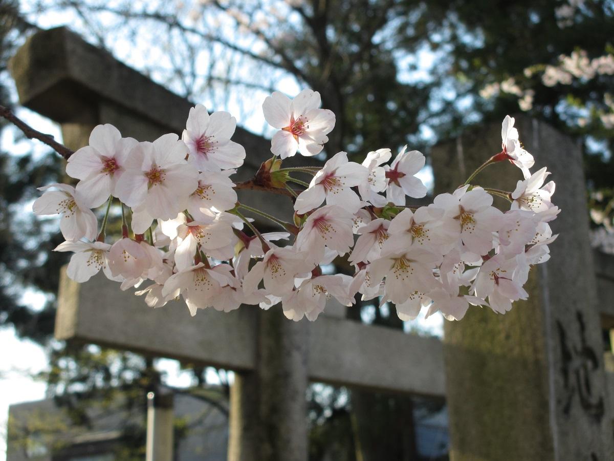 Kirschblüten_Schrein_kanazawa